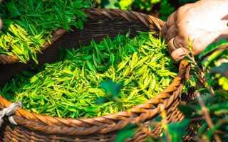 Что мы еще не знали о свойствах экстракта зеленого чая