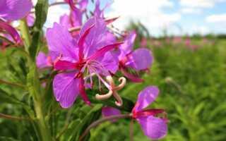 Трава иван-чай: лечебные свойства и противопоказания, применение