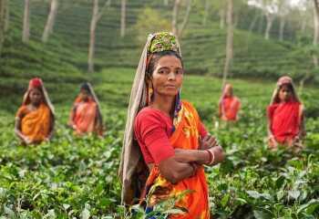 Черный цейлонский чай: полезные свойства