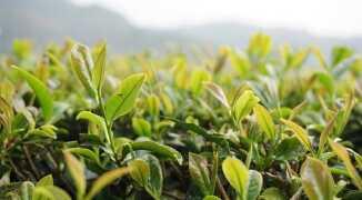 Зеленый чай: полезные свойства, возможные побочные реакции и вред