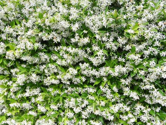 Цветущий жасмин