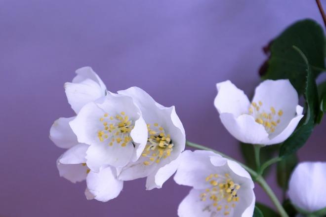 Цветок жасмина