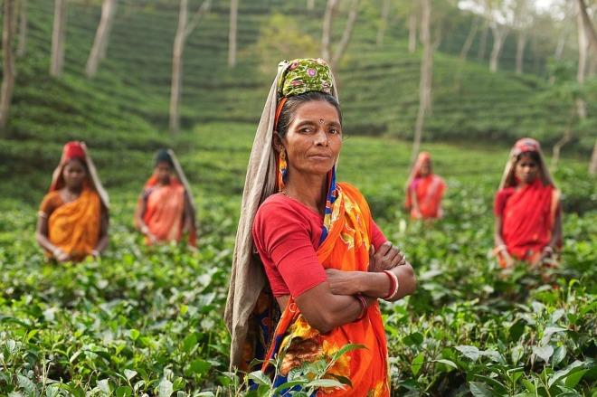 Индианки собирают чай