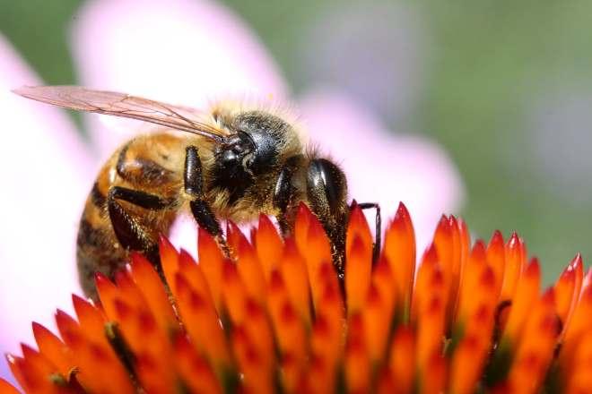 Пчела собирает мед на эхинацее