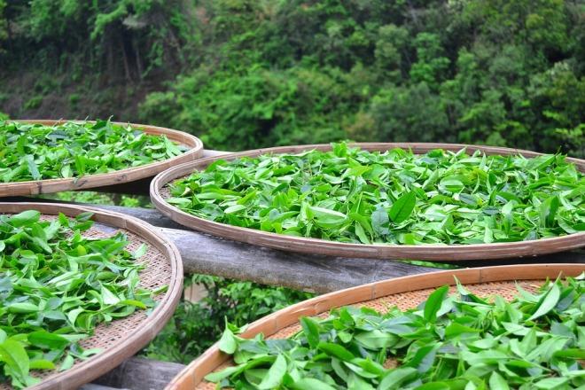 Собранные листья чая