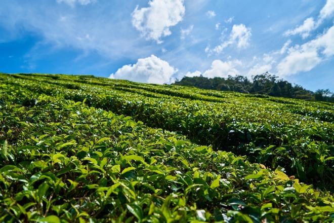 Растущий в поле чай