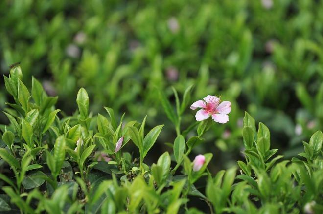Растущий зеленый чай