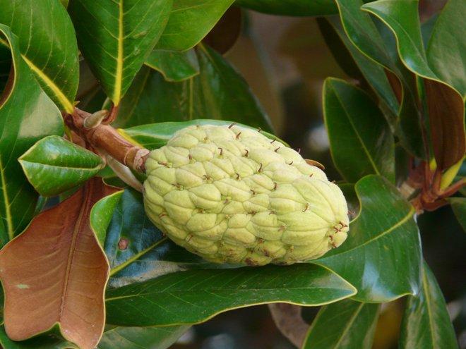 Плод анноны