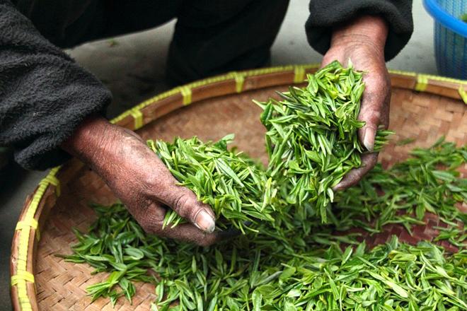 Свежесобранный зеленый чай